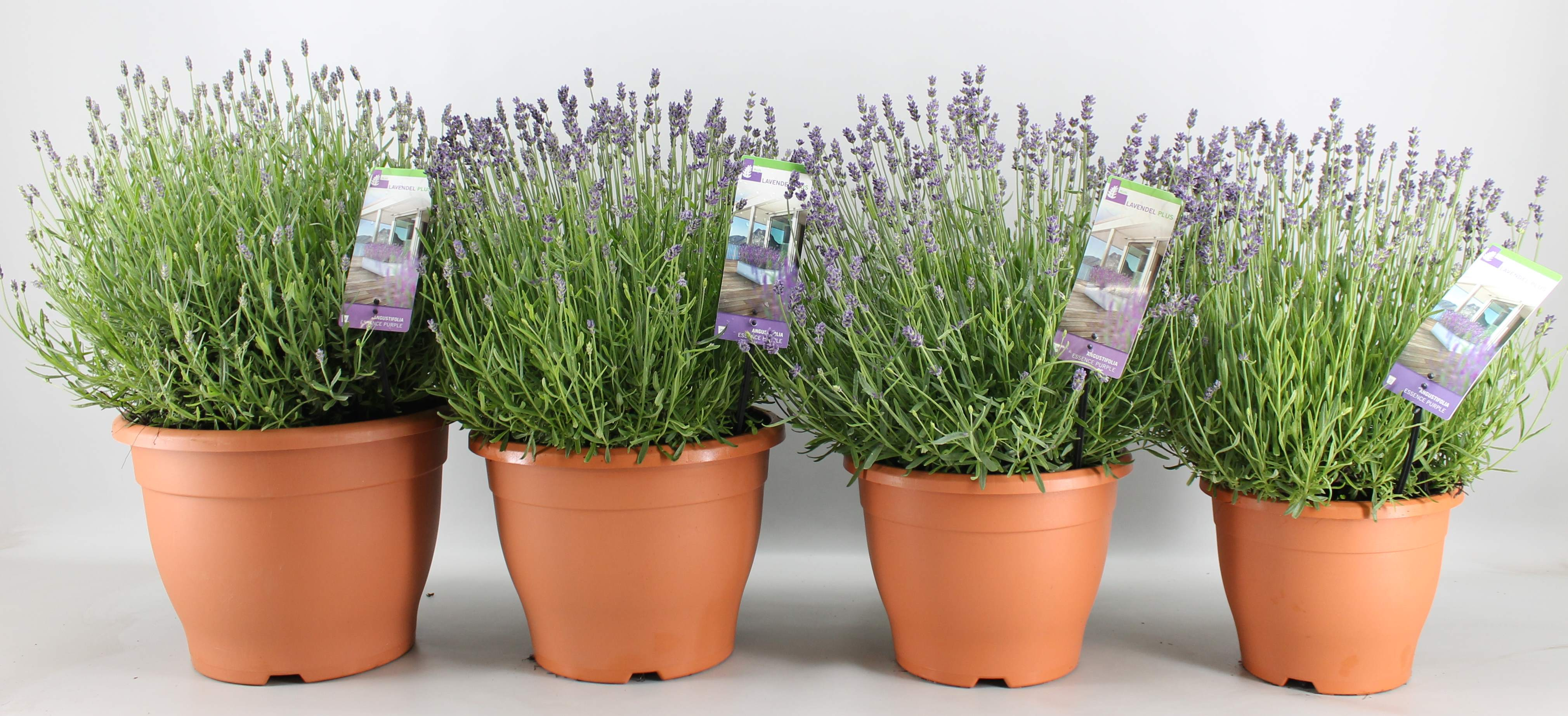 Lavendel Plus is all about large potted lavender!